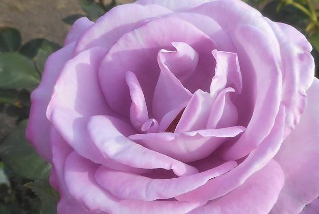 """皐月の薔薇 """"福山城""""@ばら公園"""