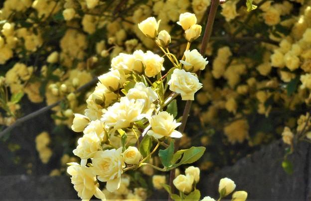 モッコウバラの花盛り