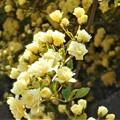 Photos: モッコウバラの花盛り