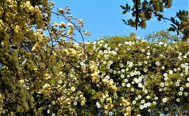 モッコウ薔薇とナニワイバラの競演@瀬戸内海・生口島