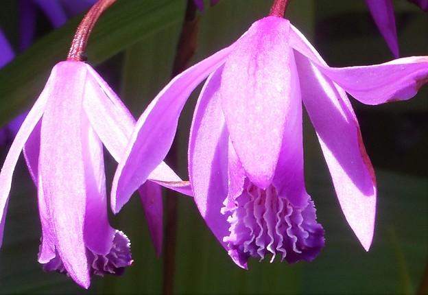 紫蘭(シラン)の咲く頃@瀬戸内海 生口島