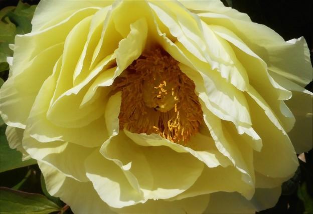 黄牡丹咲く@農家の庭先にて