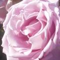 "Photos: 初夏に咲く薔薇 ""福山城""@ばら公園"