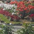 バラ色の散歩道@福山ばら公園
