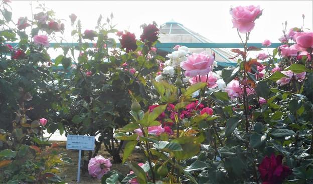 """ローズヒル3Fに咲く薔薇 """"グッドルックス""""@緑町公園"""
