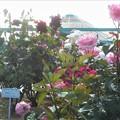 """ローズヒル(3F)に咲く薔薇 """"グッドルックス""""(2002)@緑町公園"""