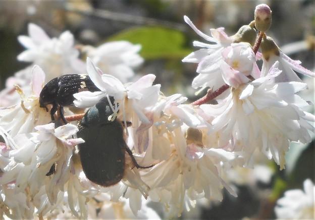 花に夢中のコガネムシたち@カナブン@初夏の瑠璃山