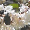 Photos: 花に夢中のコガネムシたち@カナブン@初夏の瑠璃山
