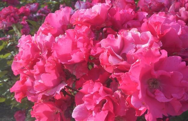 """五月の薔薇 """"パーマネント ウェーブ""""@ばら公園"""
