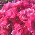 """Photos: 五月の薔薇 """"パーマネント ウェーブ""""@ばら公園"""