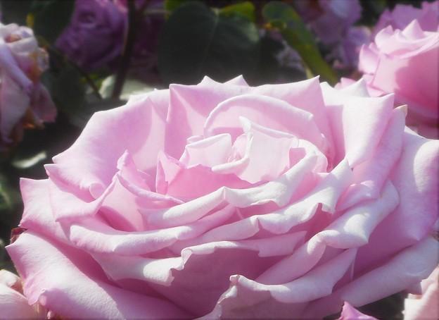 """ばら公園周辺の薔薇 """"福山城"""""""