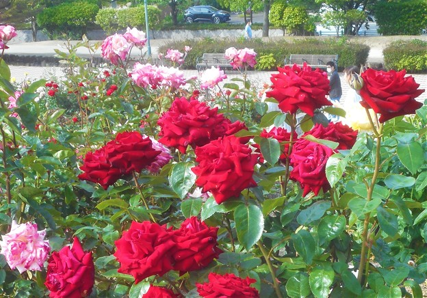 """赤い薔薇 """"イングリッド・バーグマン""""@緑町公園ローズヒル"""