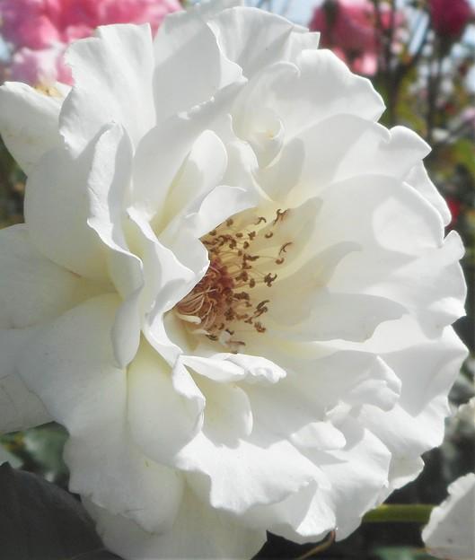 """ローズヒルの白い薔薇 """"セクシー レキシー"""""""