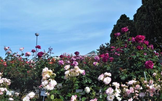 ローズヒルの多種多彩な薔薇たち@緑町公園