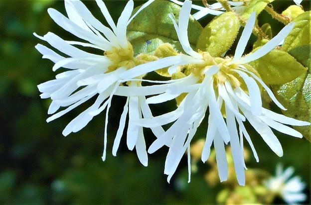 新緑に咲く 青葉白花常盤万作(アオバシロバナトキワマンサク)@生口島