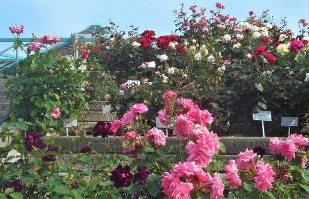 ローズヒルの五月の薔薇@緑町公園