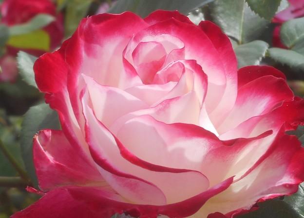 ローズヒルの薔薇@緑町公園