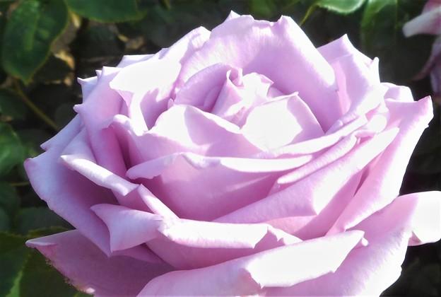 """五月の薔薇 """"ヘルムット・シュミット""""@ローズヒル"""