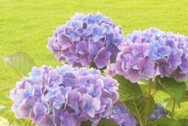 入梅の日に咲く アジサイの花