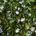 初夏に咲く黄楊(ツゲ)の花@瑠璃山