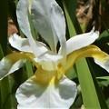 初夏に咲く 白いアヤメ@瑠璃山