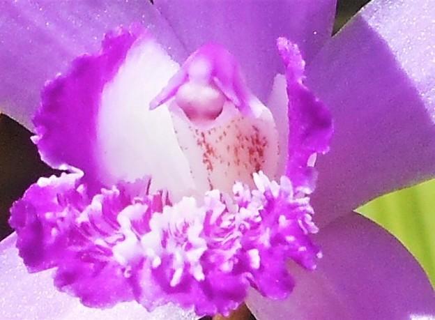 紫蘭(シラン)のフリル@新高山