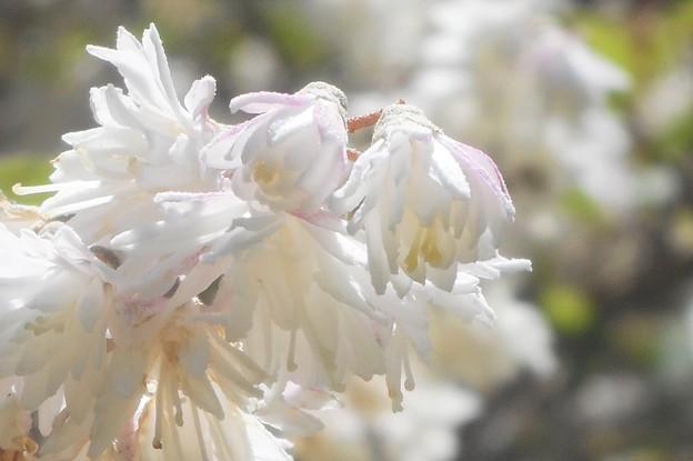 雪のように白い花 マルバウツギ@五月の瑠璃山