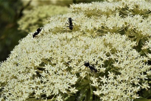 ニンジンの花に3匹のオオアリ@初夏の瑠璃山