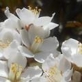 シャリンバイの白い花@新高山