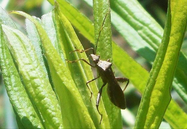 こげ茶色の小さな昆虫@瑠璃山