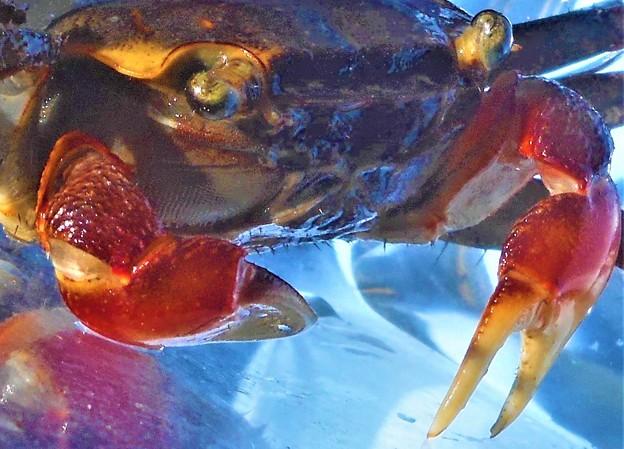 赤手ガニ(淡水系)の紅い爪@雨の訪問者