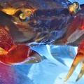 Photos: 赤手ガニ(淡水系)の紅い爪@雨の訪問者