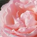 """Photos: 新緑の薔薇""""ピエール・ドゥ・ロンサール""""@ばら公園周辺"""