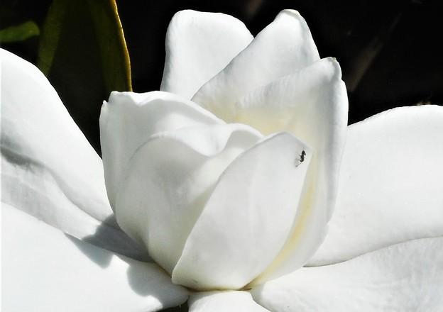 甘い香りの山梔子(クチナシ)の花&アリ1匹@梅雨の晴れ間