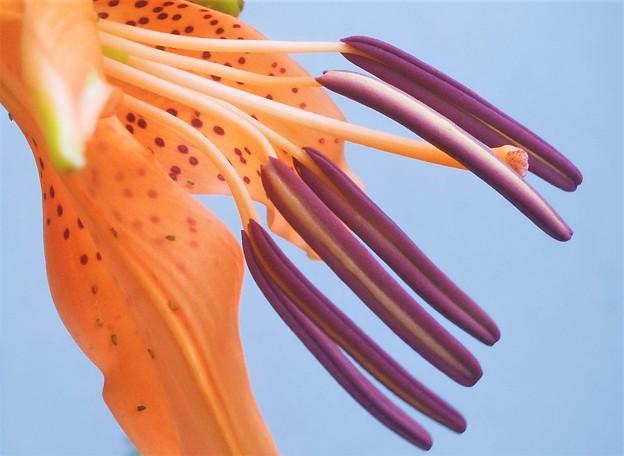 梅雨に咲く 小鬼百合(コオニユリ)の花