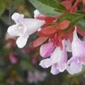 梅雨に咲く アベ(マ)リア(ピンク)の花@海岸通り