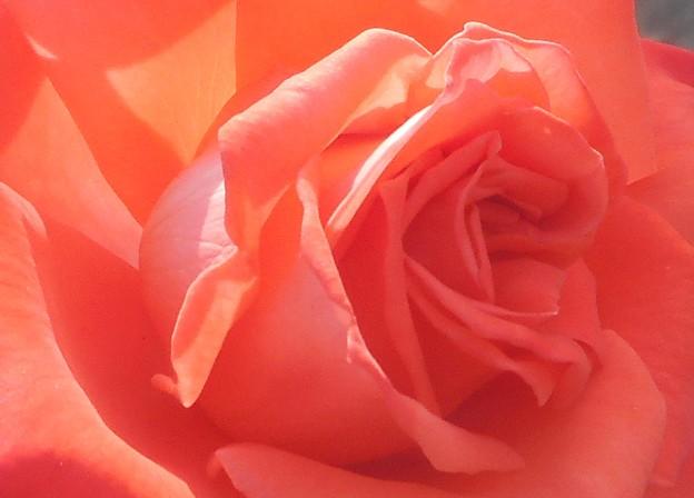 初夏の薔薇 イングリッド・バーグマン@緑町公園ローズヒル