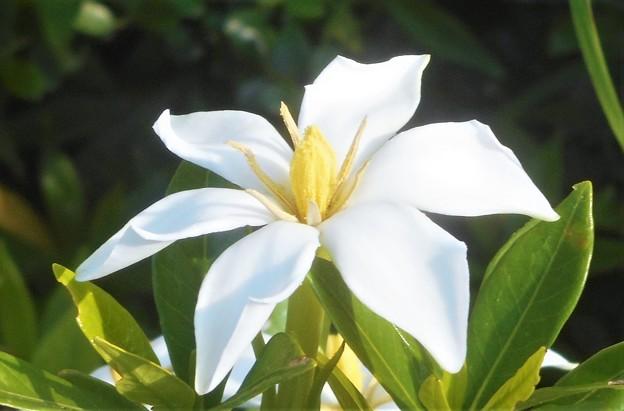 梔子(クチナシ)の白い花@有香種@びんご運動公園