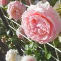 """初夏の薔薇 """"ピエール・ドゥ・ロンサール""""@ばら公園隣接の公園"""