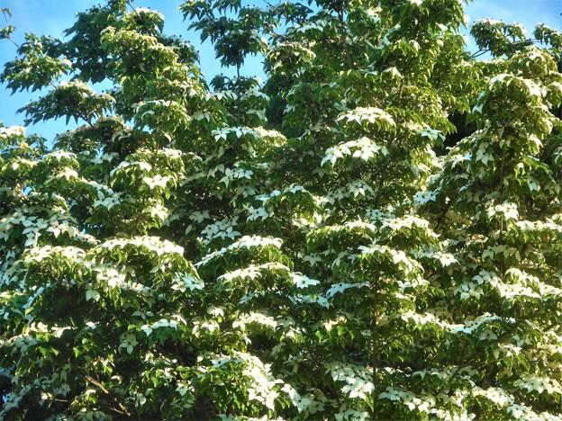 雪が積もったように咲く 山法師(ヤマボウシ)@びんご運動公園