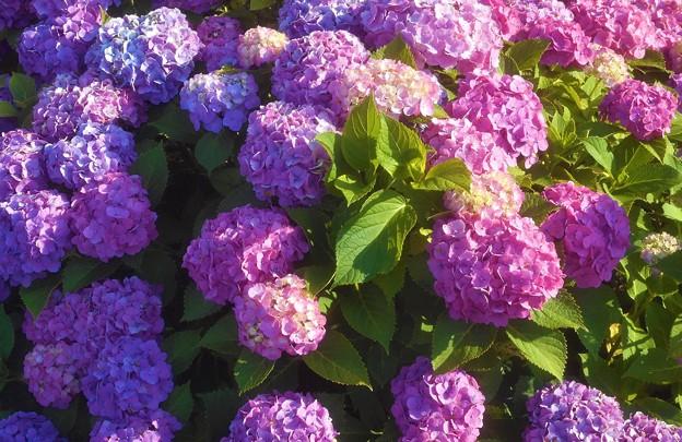 アジサイの花咲く季節