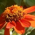 赤橙のジニアの花