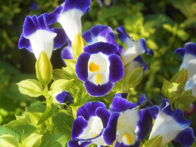 梅雨の晴れ間に咲く@トレニアの花
