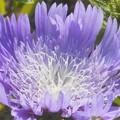 ストケシアの青い花@びんご運動公園
