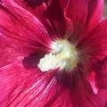 タチアオイの紅い花@びんご運動公園