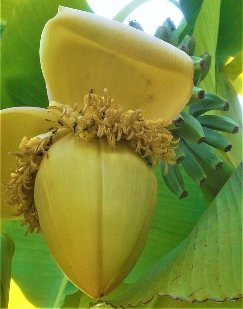 バナナの花と青い実@びんご運動公園