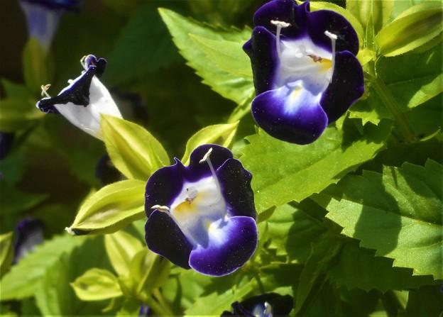 トレニアの花が満開