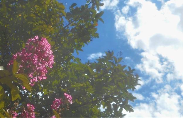 サルスベリと青い空