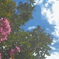 Photos: サルスベリと青い空