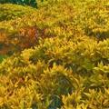 Photos: 紅葉し始めたドウダンツツジ